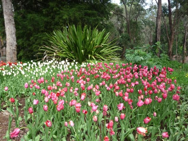 Tulips and Grass Tree Araluen Botanic Park