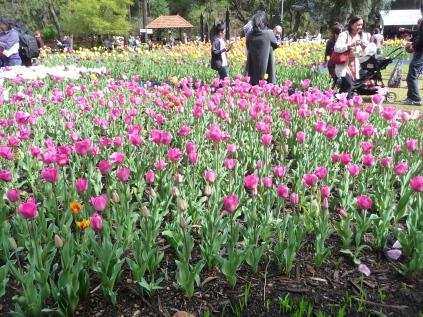 Tulips Araluen