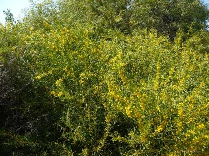 Beautiful yellow bush down by the sea
