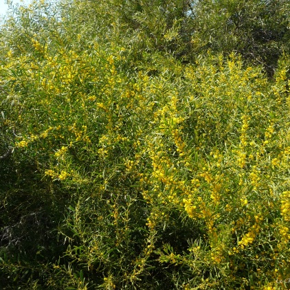 Beautiful yellow bush down by the sea