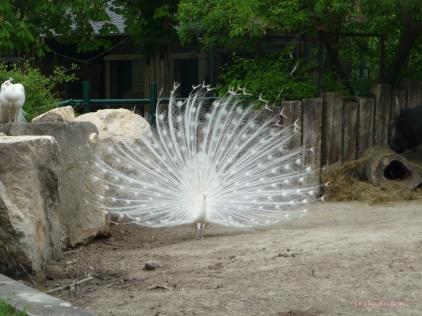 Fine looking peacock at Schoenbrunn Tiergarten