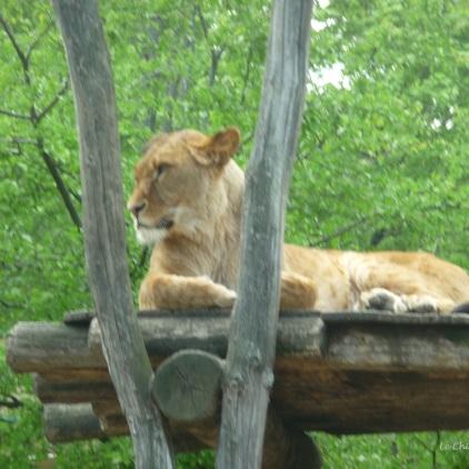 Lioness at Schoenbrunn Tiergarten