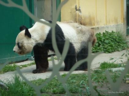 The pandas were quite happily wandering around