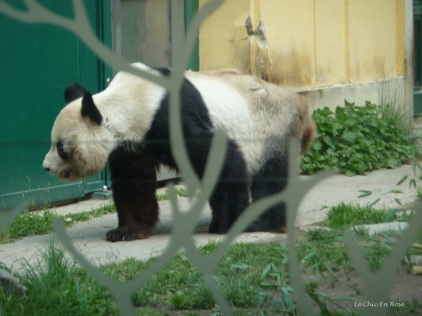 The pandas were quite happily wandering around
