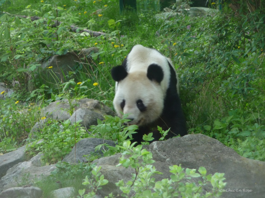 One of the 3 giant pandas who currently live in Schoenbrunn Tiergarten. There are 2 parents and their baby son.