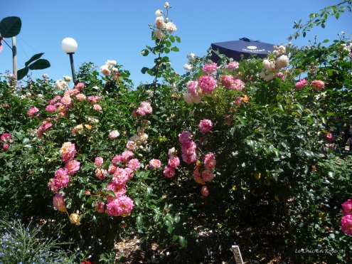 Beautiful roses in the Rose Heritage Cafe Gardens