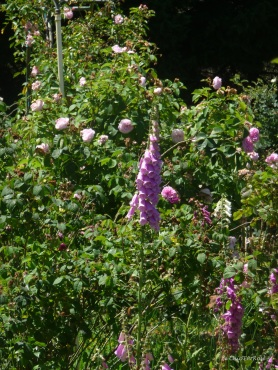 And foxgloves