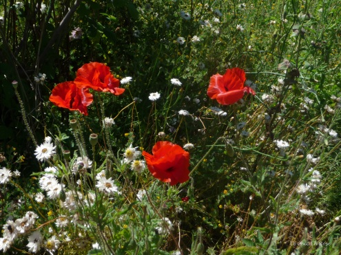 Poppies too