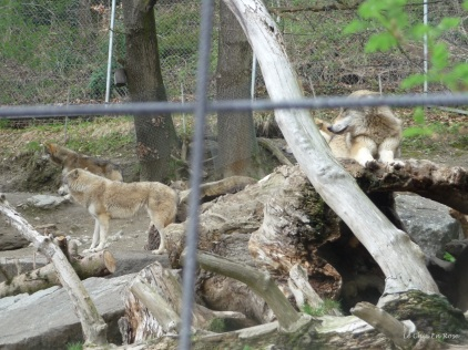 Wolves at the Alpenzoo