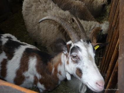 Goats at Alpenzoo