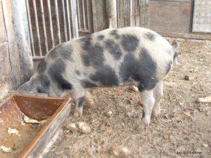 Alpine pig at Alpenzoo