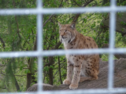 A lynx at Alpenzoo