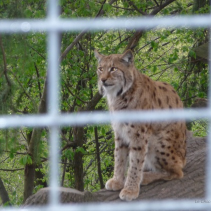 A lynx at Alpenzoo