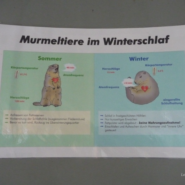 "An explanation of the marmot's hibernation ""Winterschlaf"""