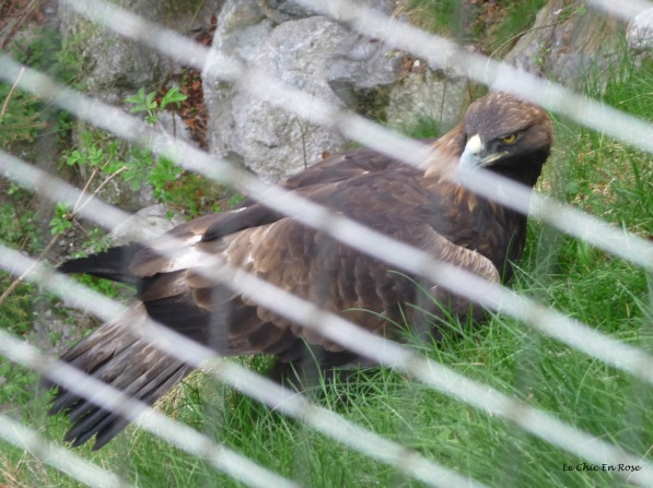 Eagle at Alpenzoo