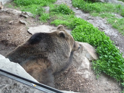 Brown bear resting in its enclosure