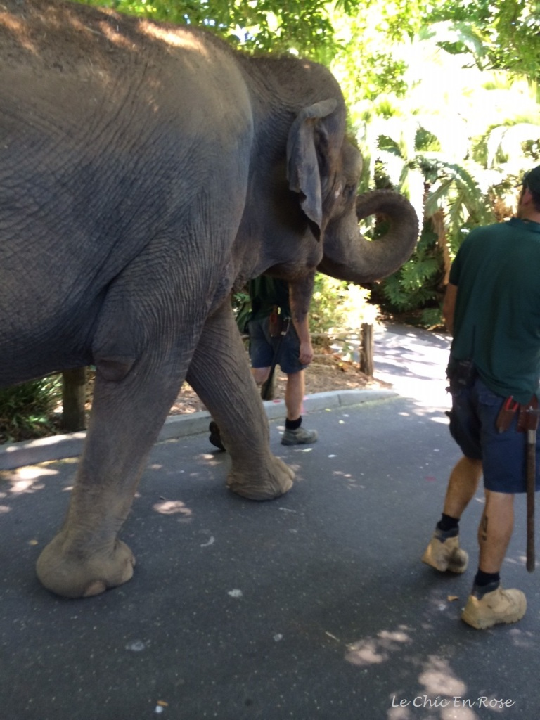 Tricia the elephant on her daily walk round Perth Zoo