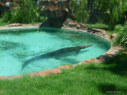We found the crocodile chilling in his pool
