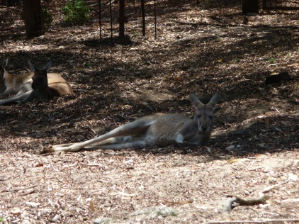The kangaroos and wallabies were spending a relaxing day chilling in the shade