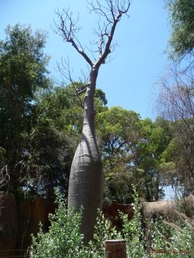 Boab tree in the Australian Bushwalk enclosure
