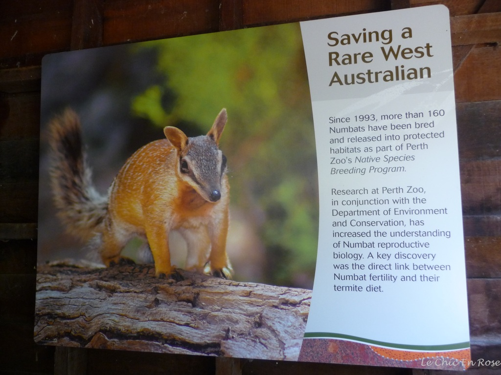 A picture of the elusive numbat and some information on the conservation programme at Perth Zoo!