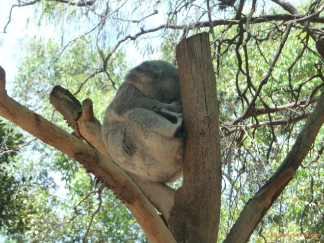 Koala snoozing up a tree at Perth Zoo