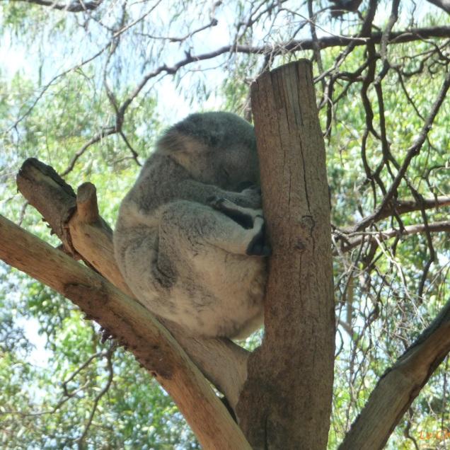 Koala snoozing up a tree at Perth Zoo