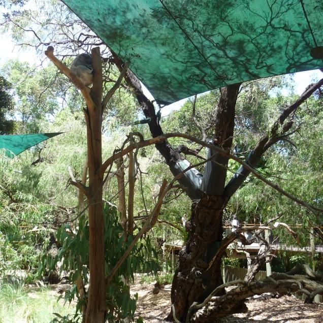 Koala Enclosure Perth Zoo