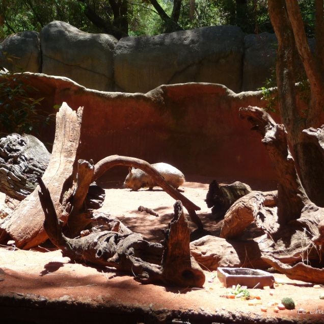 Wombat walking round enclosure Perth Zoo