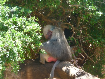 The impressive-looking baboon