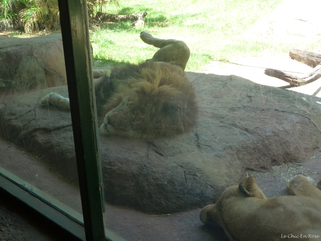 Lions relaxing in their enclosure at Perth Zoo