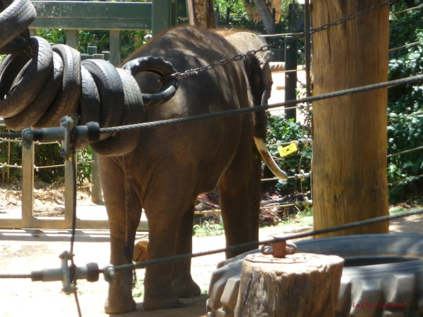 One of the herd of elephants at Perth Zoo