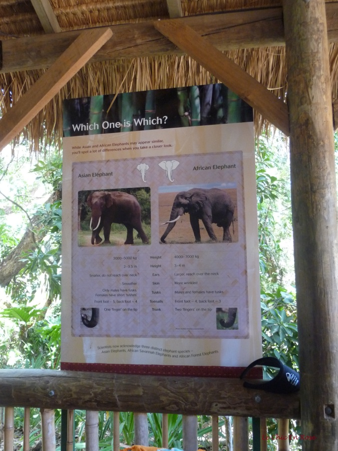 Explanation of the difference between African and Asian elephants. The ones at Perth Zoo are Asian ones.