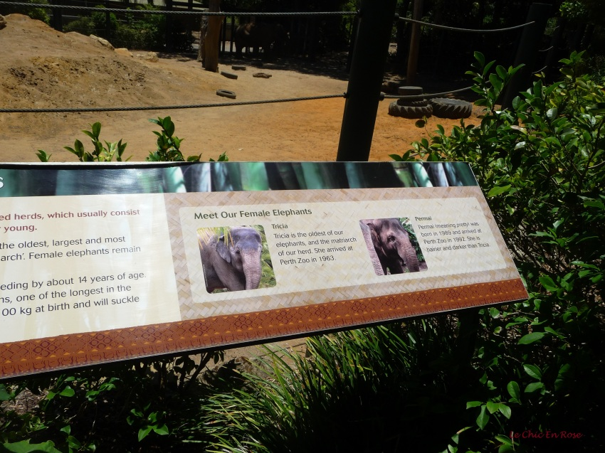 Information about the female elephants at Perth Zoo, Tricia and Permai