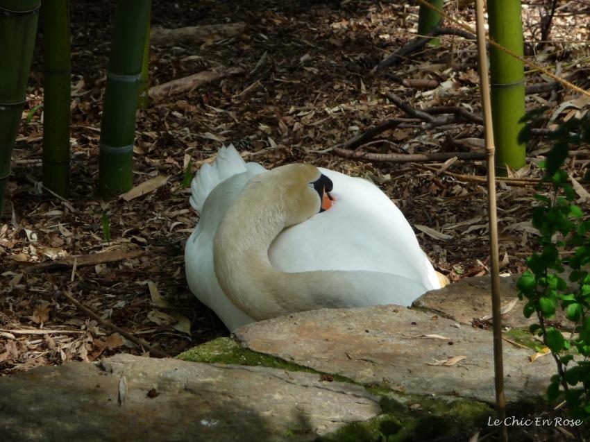 Swan on Isole di Brissago
