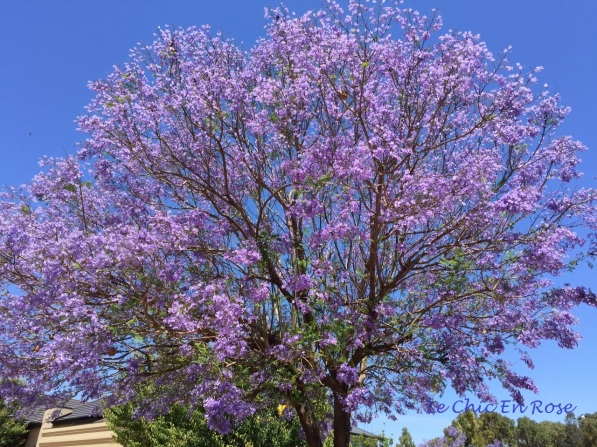 Another stunning Jacaranda!