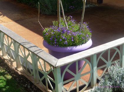 Lavender coloured pots abound - here with purple lobelia