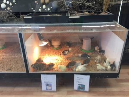 Baby chicks in the nursery at Caversham