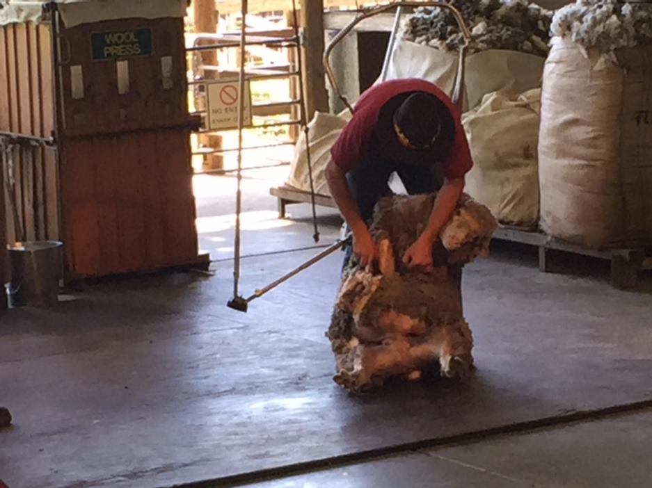 Sheep shearing demonstration at the Farm Show