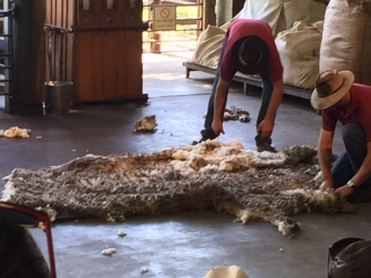 Finished! The sheep shearing team sort the wool out