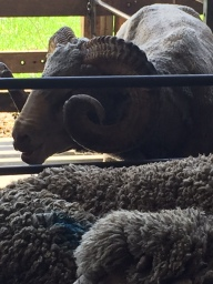 Safely back in their pen with Pete the Ram next door!