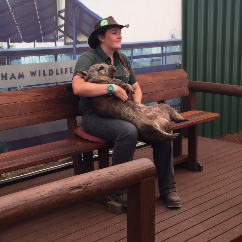 Neil the 20 kg Wombat with his keeper