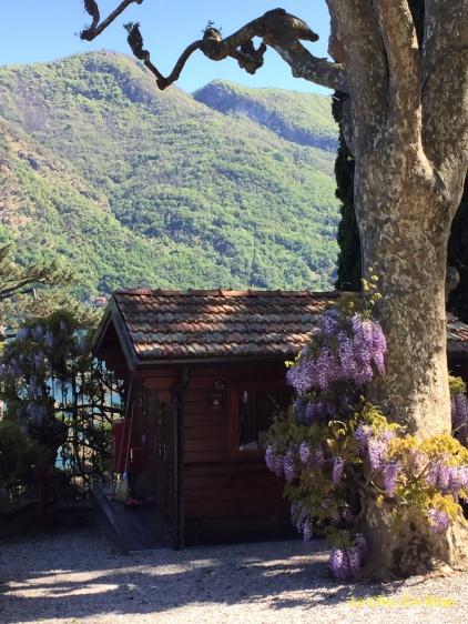 Wisteria Near The Entrance To Villa del Balbianello