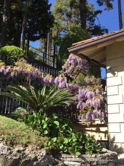 Wisteria - Spring At Villa del Balbianello