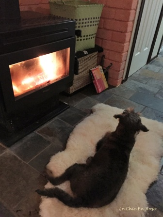 Winston the Schnoodle - stretched out in front of the fire