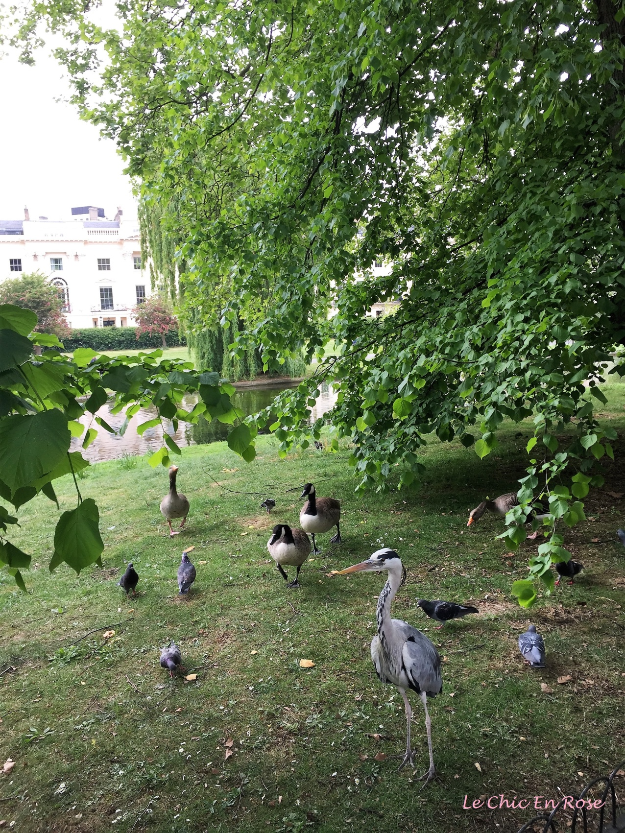 Birdlife in Regent's Park
