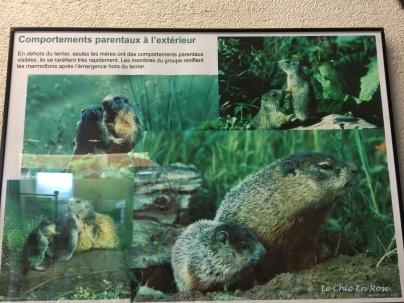 Marmotte photos