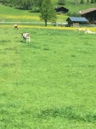 Swiss dairy cows