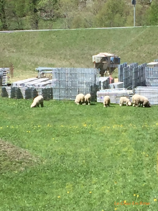 Flock of sheep grazing in the meadows